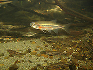 Redside Shiner (with Speckled Dace)<br /> <br /> Todd Pearsons/Engbretson Underwater Photography