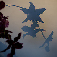 I caught these floral shadows as the sun was rapidly setting on a winter afternoon.