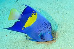 Pomacanthus maculosus, Arabischer Kaiserfisch, Yellowbar angelfish, Marsa Alam, Wadi Gimal, Rotes Meer, Ägypten, Red Sea Egypt