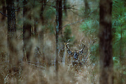 White-tailed deer in a pine thicket - Mississippi