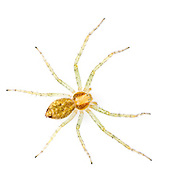 Philodromus albidus - female. Smaller and paler than most other Philodromus species. It hunts on the foliage of woodland trees in southern Britain.