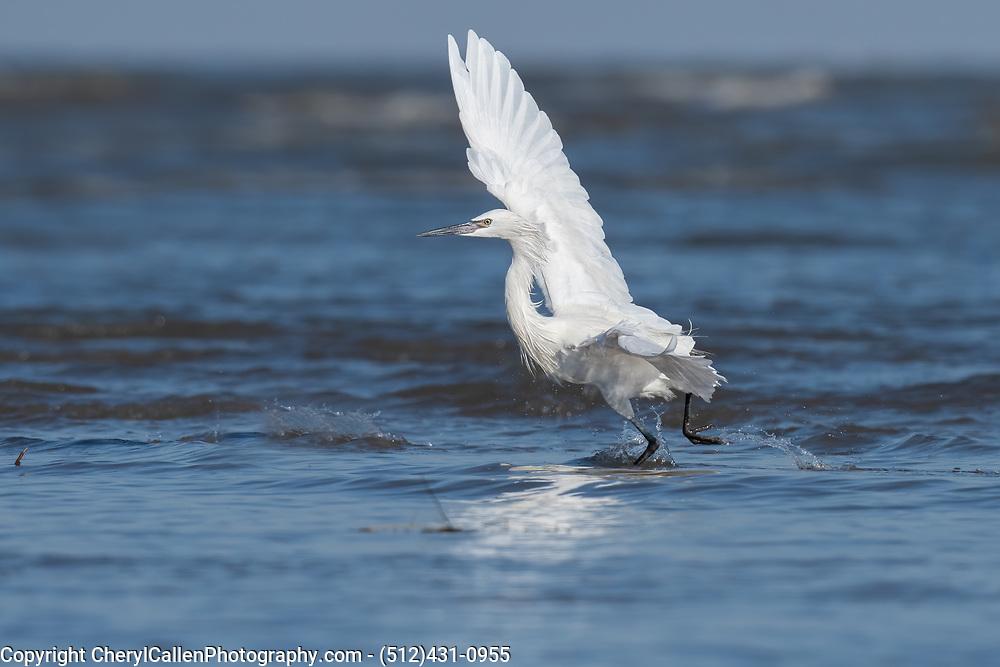 Reddish Egret White Morph hunting for food