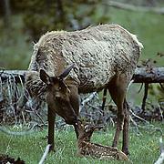 Elk, (Cervus elaphus) cow licking spring calf. Late spring snowfall covers ground.