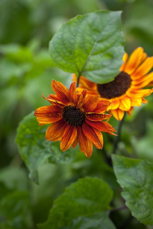 Helianthus debilis (new hybrids) - sunflower