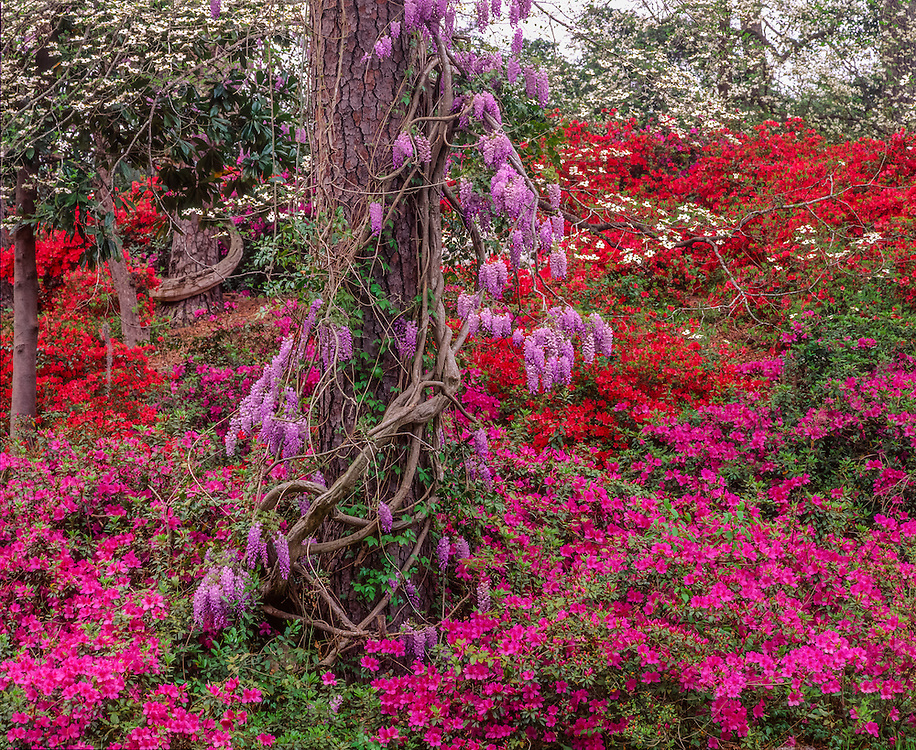 Wisteria vine & pine surrounded by azaleas & dogwood, Orangeburg, SC