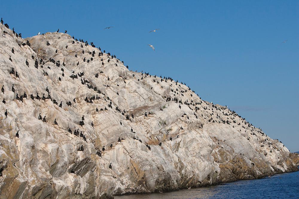 North America, United States, Washington, San Juan Islands, cliff with cormorant birds