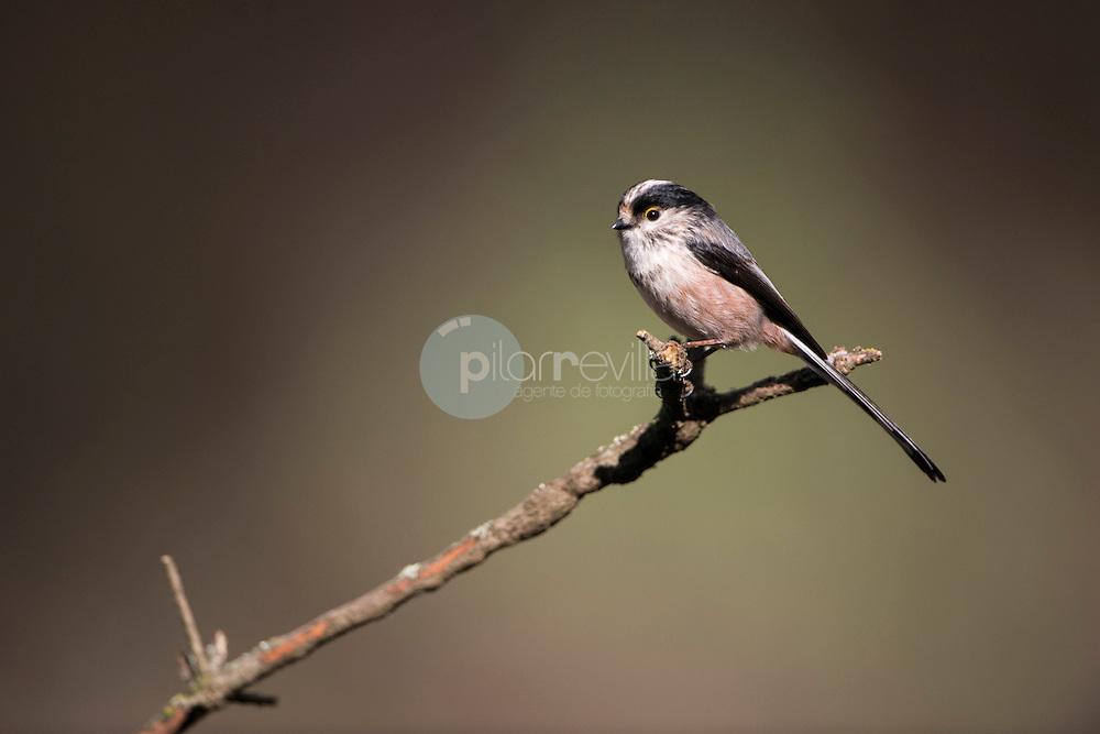 Mito. Aegithalos caudatus © / PILAR REVILLA ©Country Sessions / PILAR REVILLA