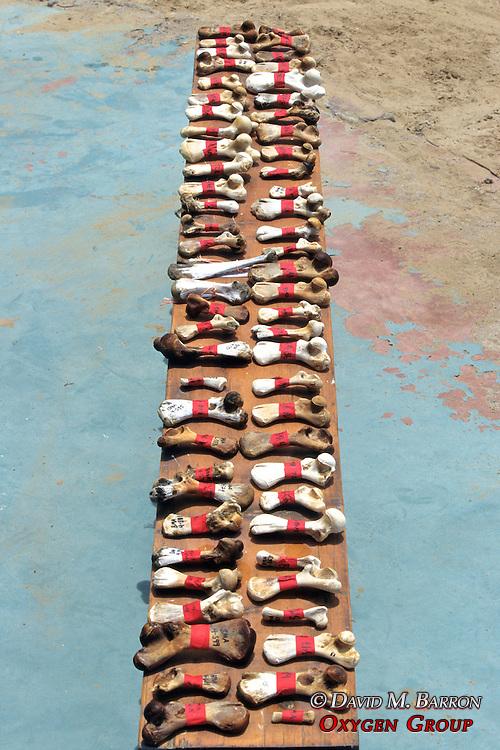 Marked Turtle Toe Bones