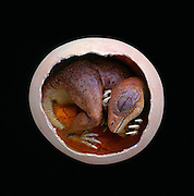 A thereizinosaur embryo how it would have appeared in its egg.  By artist Brian Cooley.  Terry Manning a fossil dealer and paleontologist from Leicester, England patiently prepared the real fossilized embryos with a diluted acid solution..