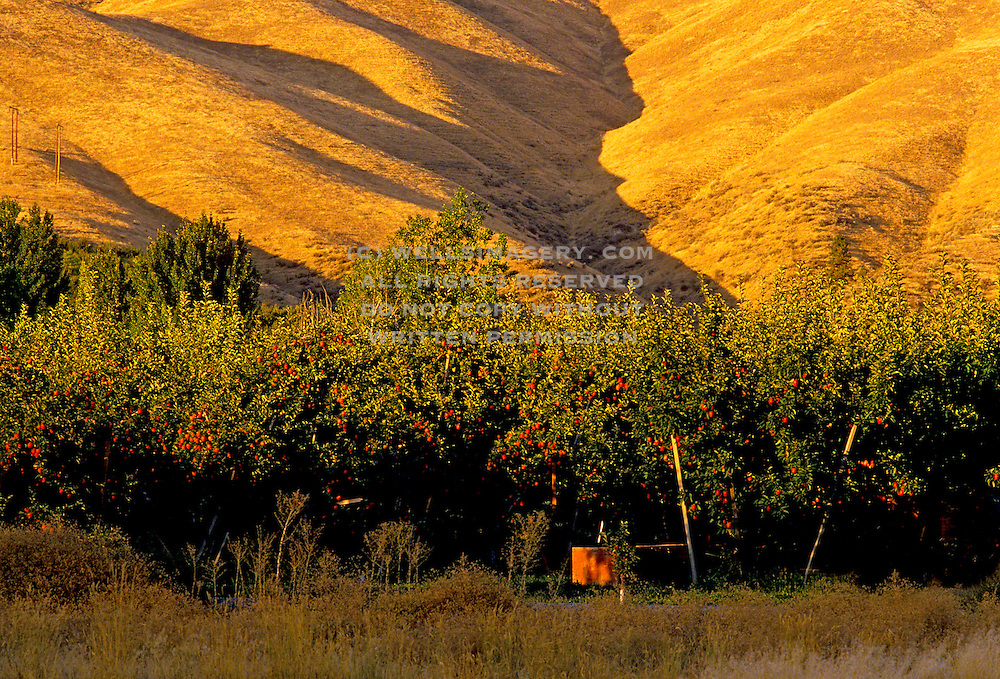 Image of an apple tree farm in Dryden, Washington, Pacific Northwest by Randy Wells