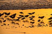 A flock of western sandpiper (Calidris mauri) on the Oregon Coast near Lincoln City as dusk.