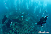 divers observe reef manta rays, Manta alfredi (formerly Manta birostris ), at cleaning station on coral reef, Manta Point, Lankan, North Male Atoll, Maldives ( Indian Ocean )