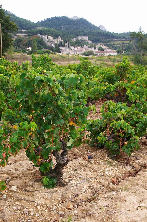 grenache gobelet training old vine vineyard domaine de longue toque gigondas rhone france