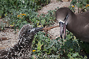 black-footed albatross, Phoebastria nigripes (formerly Diomedea nigripes), attempting to feed chick a tangle of monofilament fishing line coated with fish eggs; if the chick swallows the entire mass, it may die from an obstructed gut; Sand Island, Midway Atoll, Midway National Wildlife Refuge, Papahanaumokuakea Marine National Monument, Northwest Hawaiian Islands, USA ( North Pacific Ocean )
