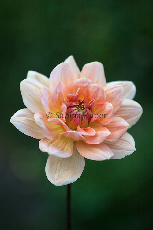 Dahlia 'Apricot Desire' - waterlily dahlia