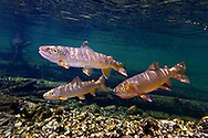 Brown Trout (with Yellowstone Cutthroat Trout)<br /> <br /> Patrick Clayton/Engbretson Underwater Photography