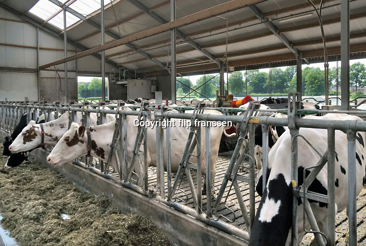 Nederland, Groesbeek, 10-6-2019 Koeien staan in de stal bij een melkveebedrijf in de melkrobot. Ze kunnen zelfstandig gemolken worden in de moderne, computergestuurde melkmachine. In deze stal kunnen ze ook zelf de wei in lopen. Foto: Flip Franssen