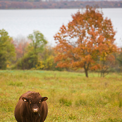 A cow at the Casey Farm in Saunderstown, Rhode Island. Preserved by Historic New England.