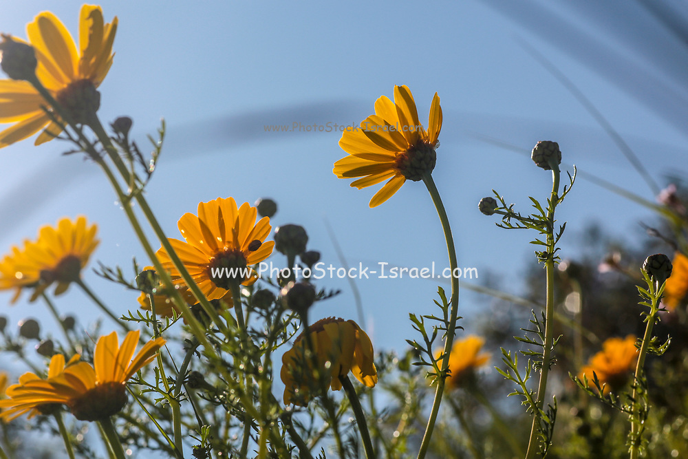 Crown Daisy (Chrysanthemum coronarium) Photographed in Israel in March