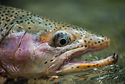 Overhooked trout?