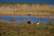 Two White-naped Crane, birds Grus vipio, besides water in Inner Mongolia, China