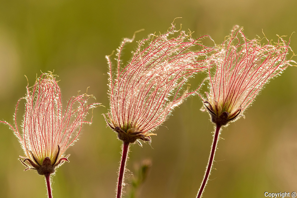 Three-flowered avens (Geum triflorum) in a meadow. Also known as Prairie Smoke.<br />Birds Hill Provincial Park<br />Manitoba<br />Canada