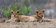 Lion cubs in Kruger NP, South Africa.