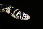 Tiger Rat Snake, Spilotes pullatus pullatus, colubrids found in Central and South America, black and white, portrait.Central America....