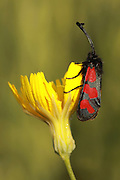 Zygaena graslini on a flower. Photographed in Israel in March