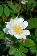 FIELD-ROSE Rosa arvensis (Rosaceae) Height to 1m<br /> Clump-forming shrub whose weak, trailing and purplish stems carry small numbers of curved thorns. Associated with woodland margins, hedgerows and scrub. FLOWERS are 3-5cm across with 5 white petals and styles united to form a column at least as long as the stamens; borne in clusters of up to 6 flowers (Jul-Aug). FRUITS are rounded to ovoid red hips, with sepals not persisting. LEAVES have 5-7 oval leaflets. STATUS-Widespread and common in England, Wales and Ireland; almost absent from Scotland.