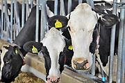 Nederland, Groesbeek, 23-5-2017Koeien staan in de stal bij een melkveebedrijf. Volgende week is er een open dag georganiseerd door melkproducent Friesland-Campina.Foto: Flip Franssen
