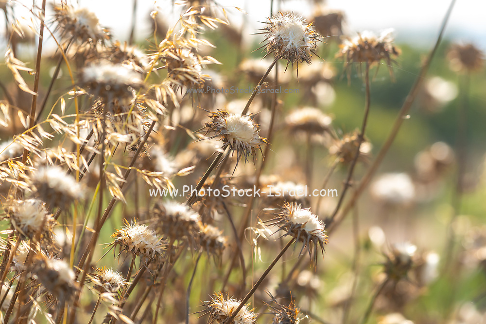 Milk Thistles (Silybum eburneum) close up. Photographed in  Israel, Galilee