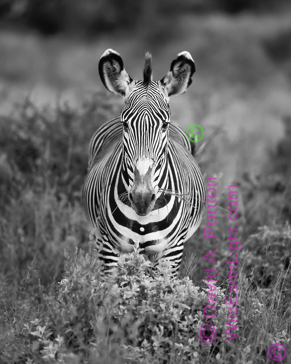 Grevy's zebra in face-on view showing symmetry and the fine stripes that characterize the species, with grass in its mouth, Samburu National Reserve, © David A. Ponton