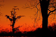 Cypress tree at sunset - Mississippi.