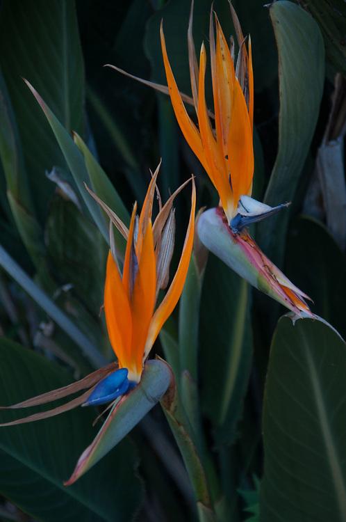 Bird of Paradise (Paradisaeidae) Flowers, Sydney, New South Wales, Australia