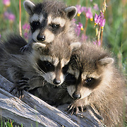 Raccoon (Procyon lotor) young in a field of Shooting Star flowers in Montana. Captive Animal