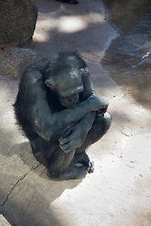 sad chimpanzee in the zoo
