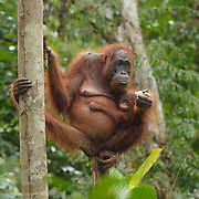 Orangutan mother and baby at a feeding station in Tanjung Puting National Park. Central Kalimantan region, Borneo.
