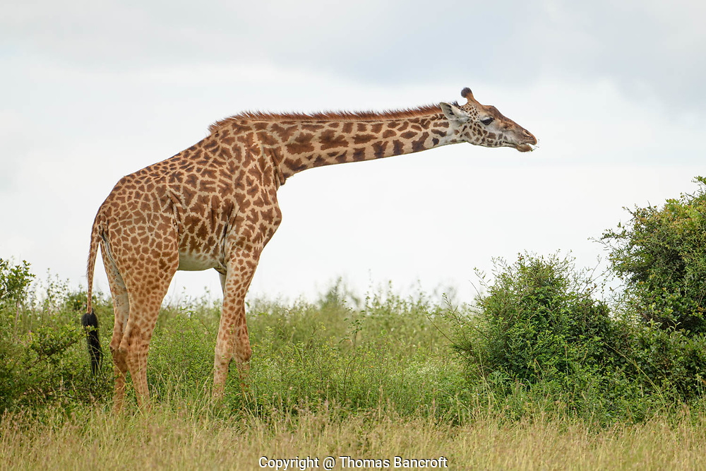 The Maasai giraffe chewed on leaves that it had just nibbled from the bush. The Maasai people call these mammals, Olemut.