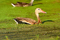 Black-bellied Whistling-Duck (Dendrocygna autumnalis),  Green Cay Nature Centre, Delray Beach, Florida, USA   Photo: Peter Llewellyn