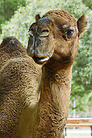 Camel close up portrait. Wildlife and nature photography wall art. Fine art photography prints, stock images