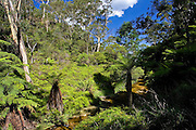 Fern in the forest, Blue Mountain National Park, Katoomba, New South Wales, Australia.