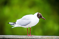 Norway, Stavanger. A sad looking Black-headed Gull.