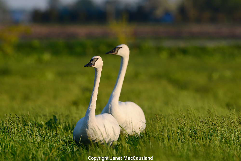 Trumpeter Swans (Cygnus buccinator) are protected due to their decimated numbers.