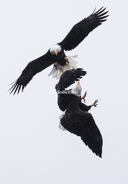 """What appears to be two bald eagles in a dogfight is more likely an """"inflight courtship"""" ritual of interlocking talons, according to Mark Myers, curator of birds at the Woodland Park Zoo. Myers believes the smaller bird above is the male, and the larger female is below. The eagles were seen over Union Bay in Seattle. (Ken Lambert / The Seattle Times)"""