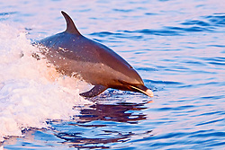pantropical spotted dolphin, Stenella attenuata, large adult, jumping out of boat wake at senset, Kona, Big Island, Hawaii, USA, Pacific Ocean