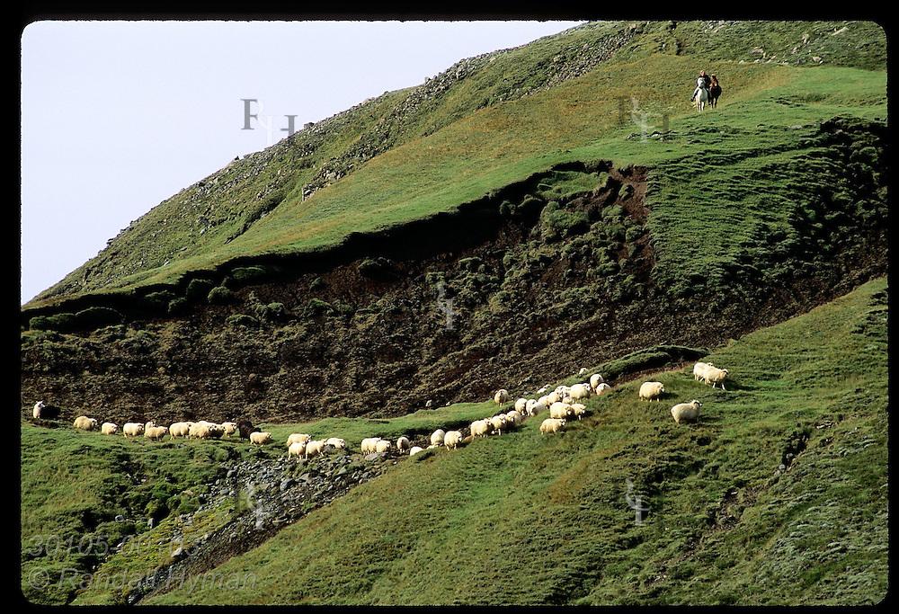 Horseman pauses on steep hill as sheep walk along slope below during fall roundup; Klaustur. Iceland