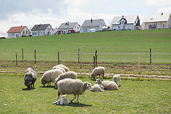 Sheep grazing in the field, Bavaria, Germany