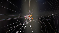 Underside of a Crab Spider on its web. Urban garden nature in St. Petersburg. Image taken with a Nikon D800 and 105 mm f/2.8G VR macro lens + SB-910 flash (ISO 100, 105 mm, f/16, 1/60 sec).