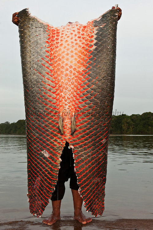 Arapaima (Arapaima gigas) skin,<br /> Legal harvest on quota<br /> A South American tropical Fish that is one of the largest in the world.<br /> Rupununi<br /> GUYANA<br /> South America